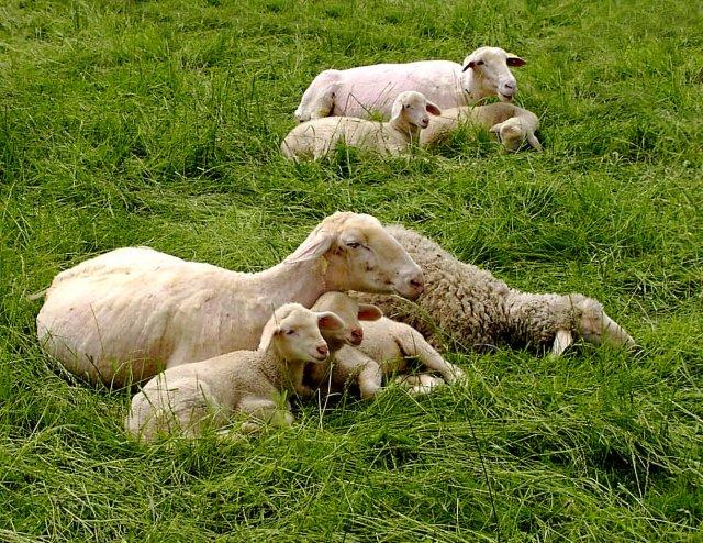 Auch Schafe brauchen mal eine Auszeit (piqs.de ID: c1affb95c59465de1d4aecee904c66a9)